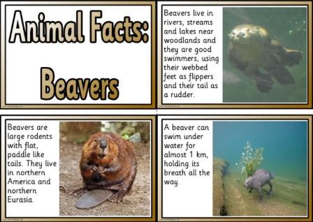 Free Beaver animal facts printable posters for kids