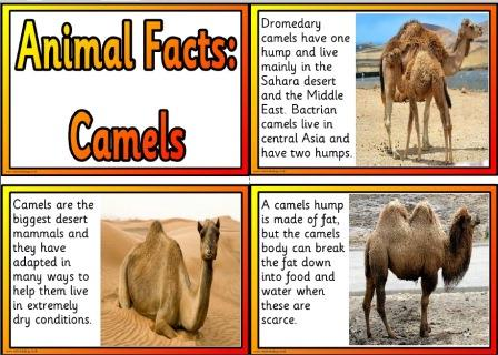 Free printable camel information cards