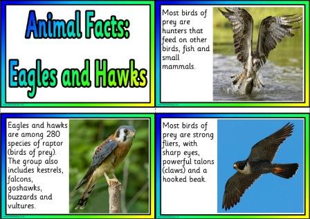 Facts about Eagles and Hawks free printable information cards