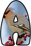 Free Waxwing bird digital classroom display lettering